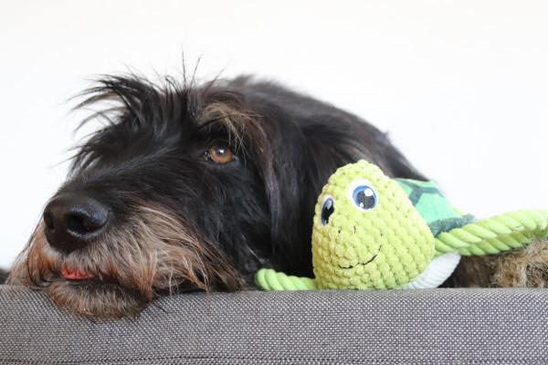 Hund mit Hundespielzeug Schildkröte Scott